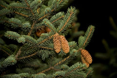 Fir strobile Stock Photography