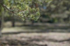 Fir-tree κλάδων πράσινο ή πεύκο στοκ εικόνες με δικαίωμα ελεύθερης χρήσης