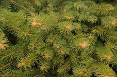 Fir-tree κλάδοι Στοκ φωτογραφίες με δικαίωμα ελεύθερης χρήσης