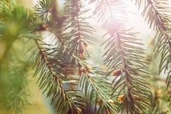 Fir-tree κλάδος με το φως ηλιοβασιλέματος Στοκ εικόνα με δικαίωμα ελεύθερης χρήσης