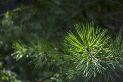 Fir-tree κλάδος Στοκ Εικόνες