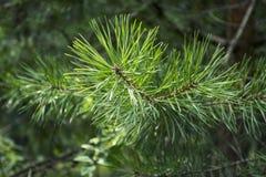 Fir-tree κλάδος Στοκ φωτογραφία με δικαίωμα ελεύθερης χρήσης