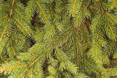Fir-tree υπόβαθρο κλάδων Στοκ φωτογραφίες με δικαίωμα ελεύθερης χρήσης