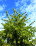 Fir-tree royalty free stock image
