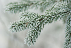 Free Fir Tree Royalty Free Stock Photography - 12592837