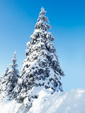 Fir-tree. Covered with show  under bright winter sunlight Stock Image