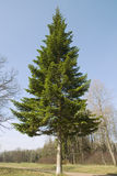 Fir-tree Stock Photography