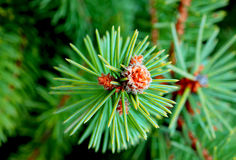Fir-tree. Abstract backgrounds black branch celebration christmas close-up coniferous contemporary copy Stock Photography