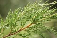 Fir Tree Royalty Free Stock Image