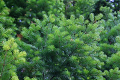 Fir-tree. Green branch of fir-tree with  young escapes in forest Stock Image