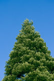 Fir tree. A close up taken with a macro lens Royalty Free Stock Image