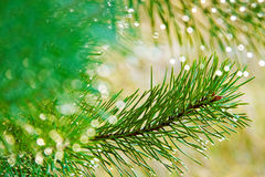 Fir tree. Stock Image