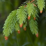 Fir tree Stock Photography