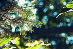 Fir tree Stock Photos