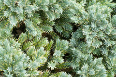 Fir Tree Royalty Free Stock Photos