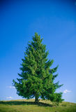 Fir tree. A lone fir tree on a hill royalty free stock photos