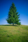 Fir Tree. In hill top, clear blue sky, copyspace down royalty free stock photos