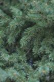 Fir-tree Στοκ Εικόνα
