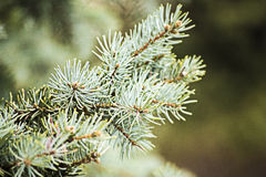 Fir tree. On blur background stock photos