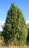 Fir Tree. This image shows a green fir tree royalty free stock photography