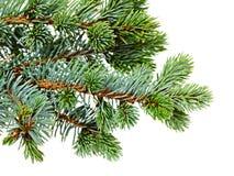 Fir tree Stock Image
