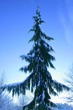 Fir tree. In a blue sky Royalty Free Stock Photo