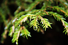 Fir tree. On black background Royalty Free Stock Photography