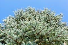 Κλάδοι μπλε fir-tree Στοκ φωτογραφίες με δικαίωμα ελεύθερης χρήσης