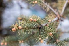 Fir-tree Στοκ εικόνα με δικαίωμα ελεύθερης χρήσης