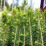Fir-tree Στοκ Εικόνες