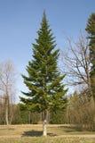 Fir-tree. A tall fir tree in a summer park Stock Photos