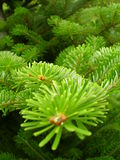 Fir-tree. Green fir-tree in the garden, also known as Christmas Tree Royalty Free Stock Image