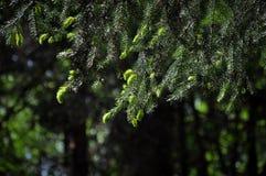 Fir-tree Στοκ φωτογραφίες με δικαίωμα ελεύθερης χρήσης