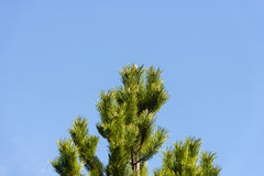Fir tree against beautiful blue sky background Royalty Free Stock Photography