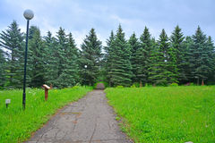 Fir-tree avenue in Dendrology garden in Pereslavl-Zalessky city Stock Photos