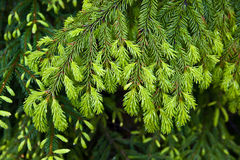 Fir-tree background Stock Image