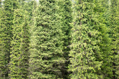 Fir tree background Royalty Free Stock Images