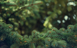 Fir-tree background. Beautiful fir-tree as abstract christmas background Royalty Free Stock Photography