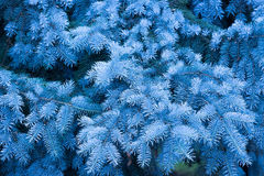 Fir tree background Royalty Free Stock Image