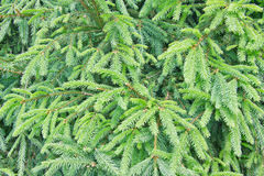 Fir tree background Stock Photography