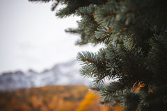 Fir-tree background. A close view of a fir tree tip Royalty Free Stock Photo