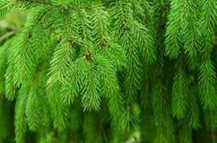 Fir tree background Stock Photo