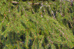 Fir-tree Stock Images
