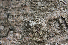 Fir tree bark Royalty Free Stock Image