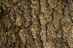 Fir tree bark with big cracks. And rough texture from the heart of nature Stock Photography