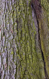Fir tree bark Stock Image