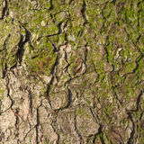 Fir tree bark texture. Stock Images