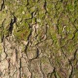 Fir tree bark texture. Stock Images