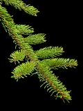 Fir tree barnch Stock Photos