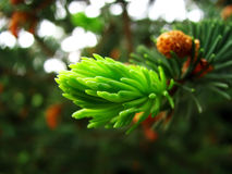 The fir-tree blossoms. On a fir-tree new branches grow in the spring royalty free stock image